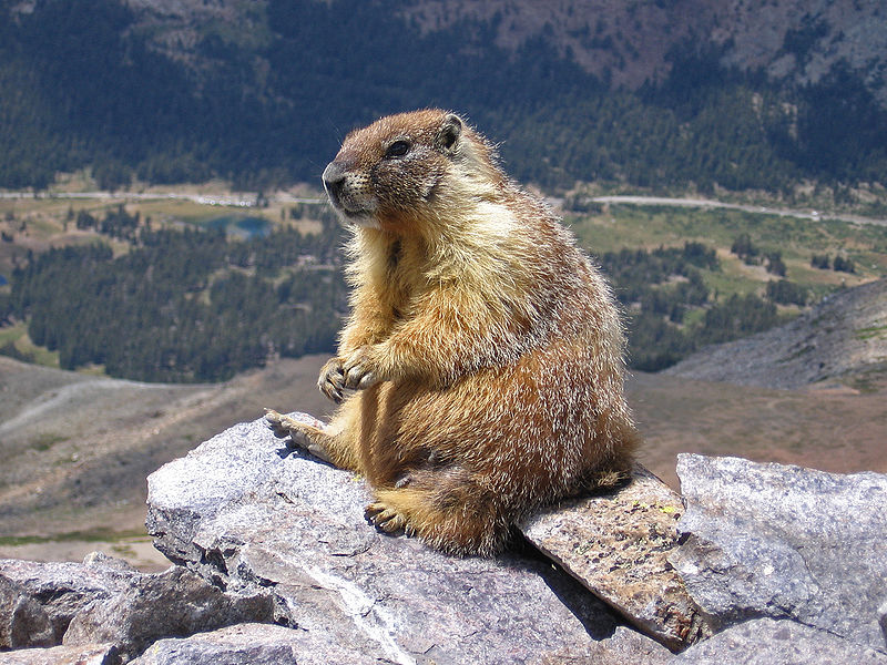 Why Is A Groundhog Called A Whistle Pig