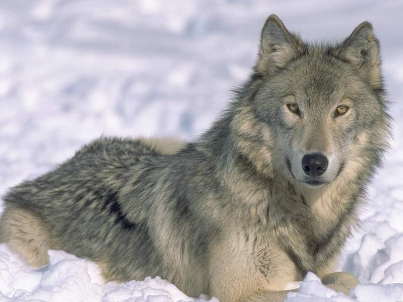 Enables killing over 75 of endangered wolves in idaho montana
